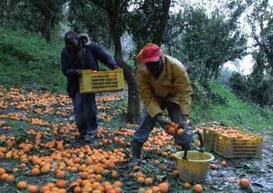 Migranti e robot in competizione per la raccolta di arance …. paga oraria meno di 1 euro